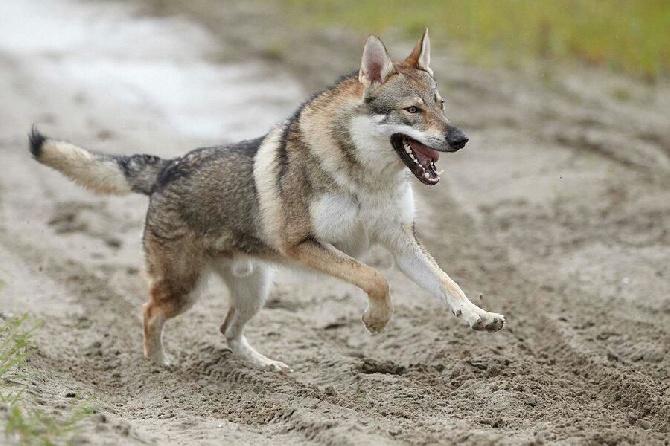 club de race chien loup de saarloos